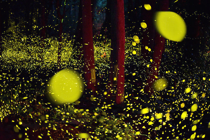 日本冈山县成了萤火虫的世界,这不就是童话里吗