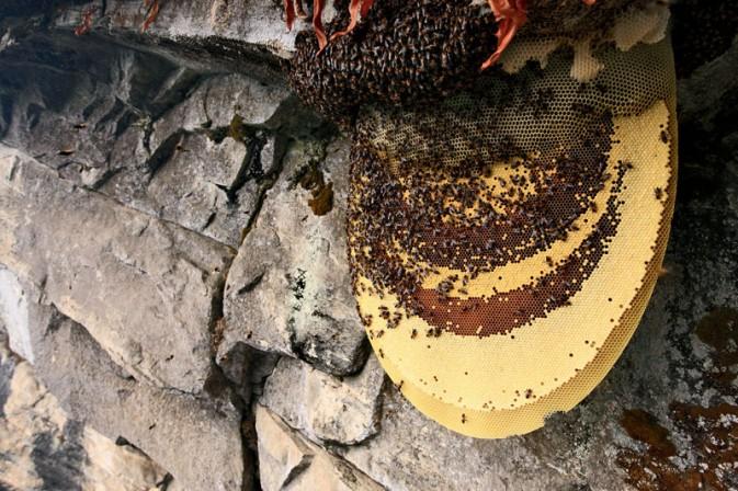 世界上最大的蜜蜂 喜马拉雅悬崖蜂
